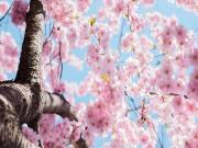 Ağaçtaki Pembe Çiçekler Yapbozu Oyna