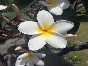 Aralia Çiçeği Yapbozu Oyna