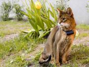 Asil Kedi Duruşu Yapbozu