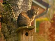 Avını Bekleyen Kedi Yapbozu Oyna