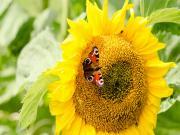 Ayçiçeği ve Kelebek Yapbozu Oyna
