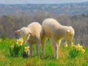 Bahar ve Kuzular Yapbozu Oyna