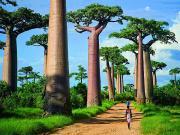 Baobab Ağaçları-Madagaskar Yapbozu Oyna