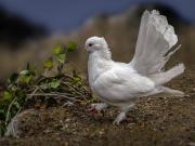Beyaz Kuyruklu Kuş Yapbozu Oyna