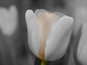 Beyaz Lale Yapbozu