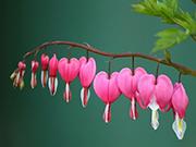 Bleeding Heart Çiçeği Yapbozu Oyna