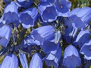 Blue Bells Çiçeği Yapbozu
