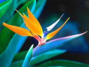 Cennet Kuşu Çiçeği Yapbozu Oyna