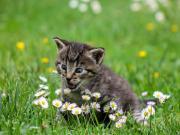 Çiçek Yiyen Kedi Yapbozu Oyna