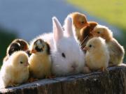 Civcivler Arasında Kalan Tavşan Yapbozu