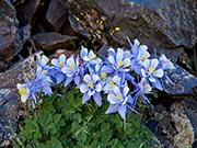 Colorado Columbine Çiçeği Yapbozu