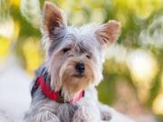 Dik Kulaklı Köpek Yapbozu Oyna