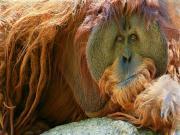 Dinlenmekte Olan Orangutan Yapbozu Oyna
