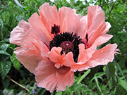 Doğu Haşhaşı Çiçeği Yapbozu