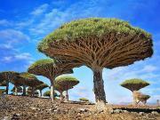Dragonblood Ağaçları-Sokotra-Yemen Yapbozu Oyna