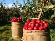 Elma Bahçesi Yapbozu Oyna