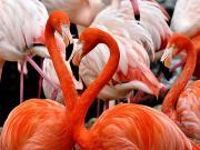 Flamingo Kuşları Yapbozu Oyna