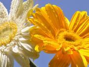 Gerbera Çiçeği Yapbozu Oyna