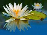 Göldeki Nilüfer Çiçeği Yapbozu Oyna