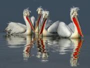Göldeki Pelikanlar Yapbozu Oyna