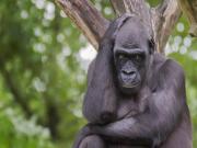 Gümüş Sırtlı Goril Yapbozu Oyna