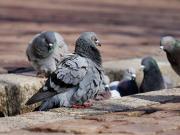 Kaldırımdaki Güvercinler Yapbozu Oyna