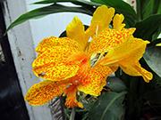 Kana Çiçeği Yapbozu