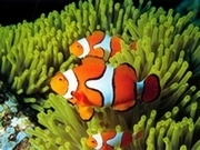 Kayıp Balık Nemo Yapboz