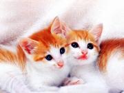 Kedilerin Masum Bakışları Yapbozu