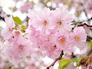 Kiraz Çiçeği Yapbozu