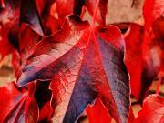 Kırmızı Yapraklar Yapbozu Oyna