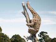 Korkak Zürafa Yapbozu