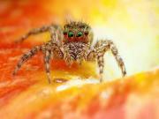 Korkunç Örümcek Yapbozu