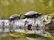 Kurumuş Ağaç Üzerindeki Kaplumbağalar Yapbozu Oyna