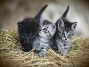 Mavi Gözlü Kedi Yavruları Yapbozu Oyna