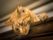 Meraklı Kedi Bakışı Yapbozu Oyna