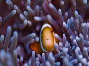 Okyanustaki Palyaço Balığı Yapbozu Oyna
