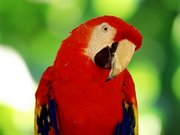Papağan Yapboz Oyna
