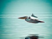 Pelikan Yapbozu