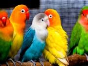 Renkli Papaganlar Yapbozu Oyna