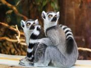 Şaşkına Dönmüş Lemurlar Yapbozu