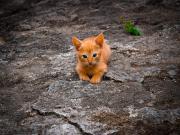 Sinsice Yaklaşan Yavru Kedi Yapbozu Oyna