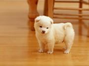 Şirin Beyaz Köpek Yapbozu Oyna