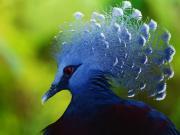 Taçlı Mavi Güvercin Yapbozu