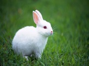 Tavşan Yapbozu
