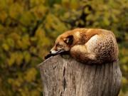 Uyuyan Tilki Yapbozu