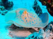 Vatoz Balığı-Kızıl Deniz Yapbozu