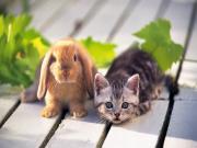 Yavru Kedi ve Tavşan Yapbozu